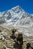 Караван горы животных яков в Гималаях идя к пику снега Стоковая Фотография RF