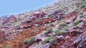 Караван горы с ослами стоковая фотография rf