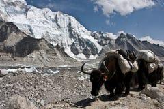 Караван яков идя к базовому лагерю Эвереста Стоковое Изображение
