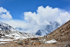 Караван яков на пути к Gorak Shep, Непалу Красивое Himal Стоковое Фото
