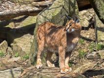 Каракал, Каракал caracal, очень поворотливый кот Стоковое фото RF