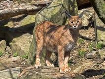 Каракал, Каракал caracal, очень поворотливый кот Стоковые Изображения