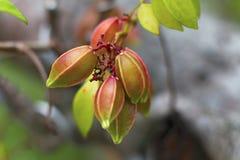 Карамбола - starfruit стоковая фотография rf