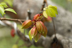 Карамбола - starfruit Стоковая Фотография