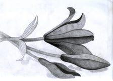 карандаш лилий Стоковое Изображение RF