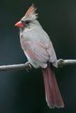 кардинальная женская ая северная Стоковые Фотографии RF