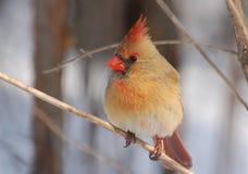 кардинальная женская северная Стоковые Изображения RF