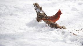 кардинальная северная зима Стоковая Фотография