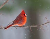кардинальная северная зима Стоковое Изображение