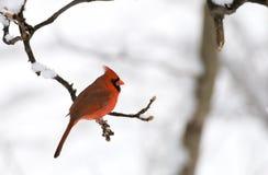 кардинальная северная зима Стоковые Фотографии RF