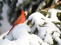 кардинальная северная пурга Стоковое Фото