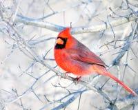 кардинальная северная Стоковое Фото