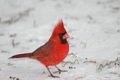 кардинальная северная Стоковые Фото