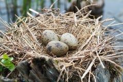 кардинальное гнездй яичка Стоковое Фото