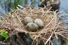 кардинальное гнездй яичка Стоковая Фотография