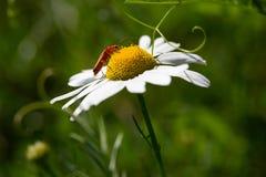 Кардинальный жук сидя на нектаре белой маргаритки выпивая стоковое фото