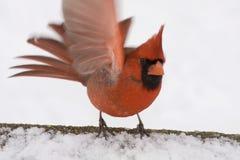 кардинальный красный цвет Стоковые Фотографии RF