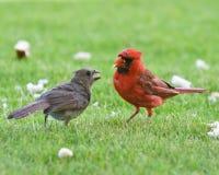 кардинальный красный цвет Стоковая Фотография RF