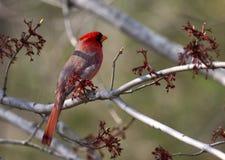 кардинальный красный цвет Стоковое Изображение RF