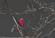 кардинальный мужчина Стоковые Фотографии RF
