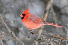 кардинальный снежок Стоковые Изображения RF