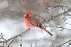 кардинальный снежок Стоковое фото RF