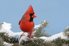 кардинальный снежок Стоковые Фотографии RF