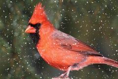 кардинальный шторм снежка Стоковые Изображения
