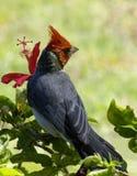 кардинальный hibiscus Стоковые Фотографии RF
