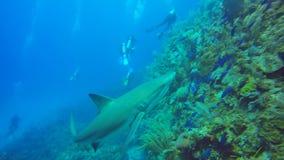 Карибская акула рифа в Jardin de Ла Reina, Кубе сток-видео