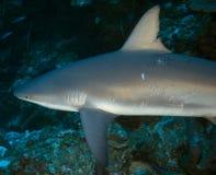 Карибская акула рифа Стоковые Фотографии RF