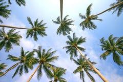 карибская пальма Кубы кокоса Стоковое фото RF