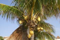 карибская пальма Кубы кокоса Стоковое Изображение