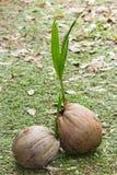 карибская пальма Кубы кокоса Стоковые Изображения