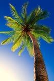карибская пальма Кубы кокоса Стоковое Фото