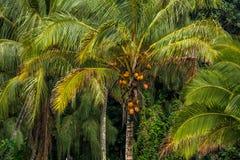 карибская пальма Кубы кокоса Стоковая Фотография