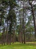 Карибская сосна в зоне размножения Tonson, Чиангмай стоковая фотография