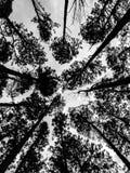 Карибская сосна в зоне размножения Tonson, Чиангмай стоковая фотография rf