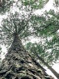 Карибская сосна в зоне размножения Tonson, Чиангмай стоковые изображения