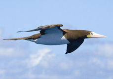 1 карибская чайка олуха летая высоко Стоковое Изображение RF
