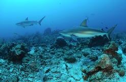Карибские акулы рифа Стоковое Изображение