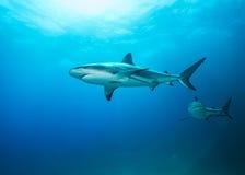 Карибские акулы рифа в сини Стоковые Изображения