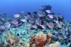 Карибские голубые тяни Стоковые Изображения RF