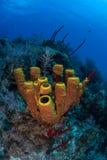 Карибские губки трубки Стоковые Фото