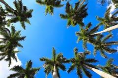 Карибские ладони вентилятора против неба Стоковые Изображения RF