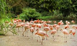 Карибские фламингоы Стоковое фото RF