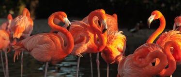 Карибские фламинго над красивым заходом солнца Стоковое Изображение RF