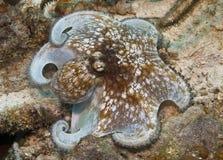 карибский восьминог Стоковая Фотография RF
