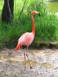 карибский красный цвет фламингоа Стоковое Изображение
