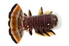 карибский омар Стоковое Изображение RF
